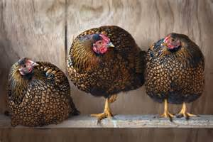 move isa browns ornamental chickens are the new must suburban backyard accessory