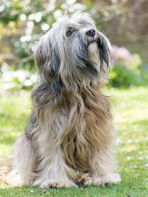 tibet terrier hunde rassen information omlet