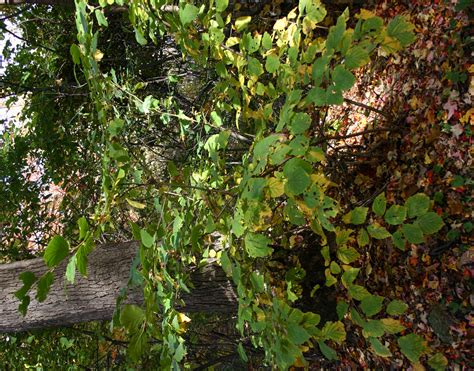 picture of witch hazel plant medicinal plants witch hazel