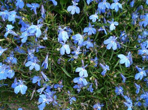 blue lobelia file lobelia erinus 0 02 jpg wikimedia commons