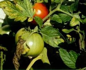 Tomaten Krankheiten Bilder : tomaten krankheiten sch dlinge und physiologische st rungen lfl ~ Frokenaadalensverden.com Haus und Dekorationen