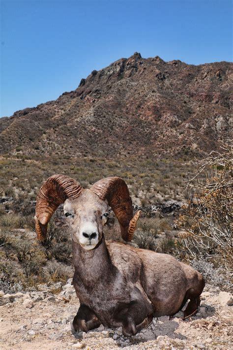 desert bighorn sheep carmen island mexico quality fur