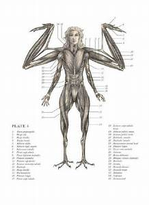 Harpy Anatomy