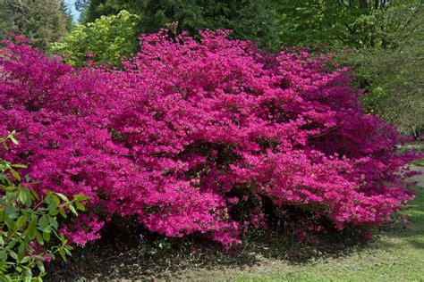 pink flowering shrubs top 28 pink blooming bush katy preview pink flowered shrub pink flowering bush free stock