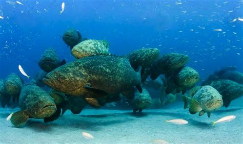 grouper ikan raksasa fakta goliath hampir punah atlantic yang