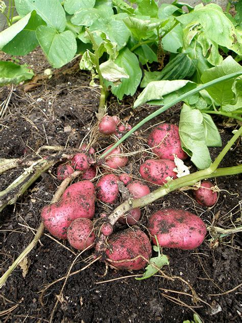how to potatoes from garden growing potatoes bonnie plants