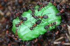 Was Essen Ameisen : die ameise essen ameise stock fotos melden sie sich ~ Lizthompson.info Haus und Dekorationen