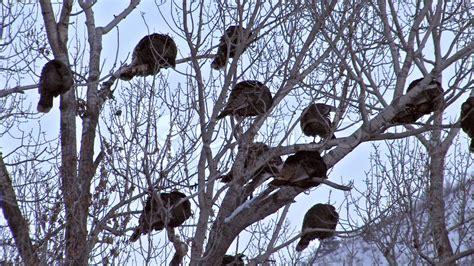 turkey roost high in tree winter hd hi res video 93376