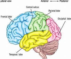 Brain Part C  Frontal Lobe  Temporal Lobe  Parietal Lobe