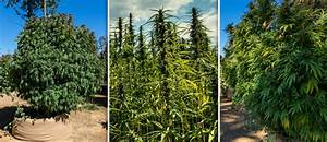 Blumentöpfe Groß Draußen : 3 beispiele wie gro cannabispflanzen drau en werden k nnen ~ Eleganceandgraceweddings.com Haus und Dekorationen