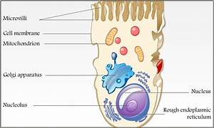 Are Microvilli Outfoldings Or Infoldings Of Cell Membrane