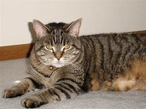 The Types of Tabby Coat Patterns | 1-800-PetMeds Cares™