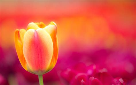 Hd Tulip Background by Tulips Background Wallpaper 70 Images