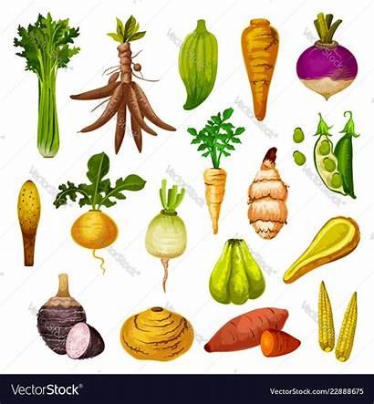 Vegetables Root Exotic Veggies Vector Royalty