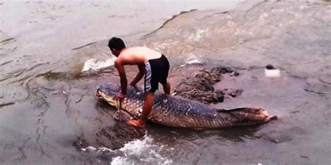 Download lagu babon babon danau saguling mp3 dan video mp4. Wow, Warga Samosir Temukan Ikan Raksasa Terdampar Akibat Surut...