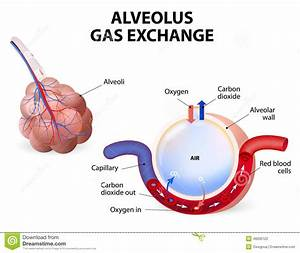 Alveolus  Gas Exchange Stock Vector  Illustration Of Blood