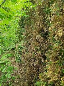 Thuja Smaragd Braun : thuja braun thuja occ smaragd lebensbaum braune stellen ~ Lizthompson.info Haus und Dekorationen