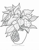 Coloring Pages Christmas Poinsettia Printable Adults Gourd Drawing Mistletoe Flowers Adult Flower Bing Difficult Sheets Patterns Ornament Clipart Guide Crafts sketch template