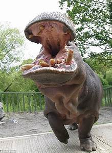 Pictured: The baby pygmy hippo who's barely bigger than a ...
