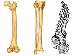 Bones Of Leg And Foot