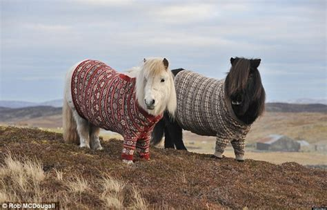shetland ponies scotland sweaters horses isle fair cute tourism pony scottish sweater islands jumpers island animals cardigans jumper wearing shetlands