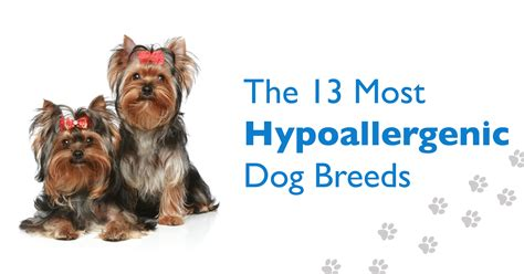 Non Shedding Hypoallergenic Small Dogs by 13 Hypoallergenic Breeds