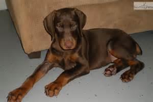 Red Doberman Pinscher Puppies