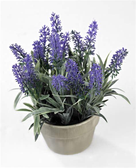 lavanda in vaso lavender pianta in vaso lavanda prodotti gradevoli per