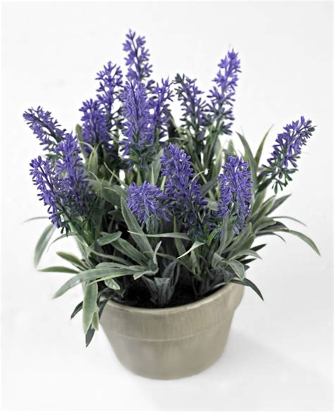 vaso per pianta lavender pianta in vaso lavanda prodotti gradevoli per