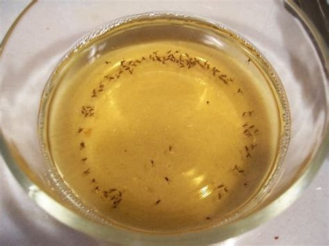 flies in kitchen sink how to get rid of fruit flies and them fruit flies 7233