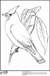 Cardinal Coloring Pages Bird American Printable Adult Northen Colors Getcoloringpages Members Team Teamcolors Title Read sketch template