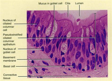 Cells, Major Tissue Types , Epithelial Cells Flashcards
