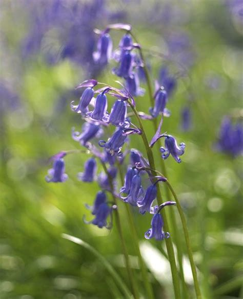 buy bluebell bulbs hyacinthoides non scripta delivery by