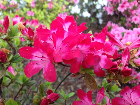 japanese for flower azalea tsutsuji spring flowers in japan deepjapan