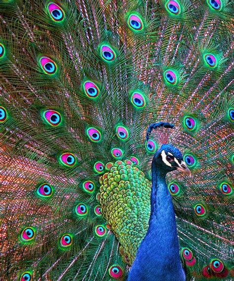 peacock colors 25 best ideas about peacock bird on