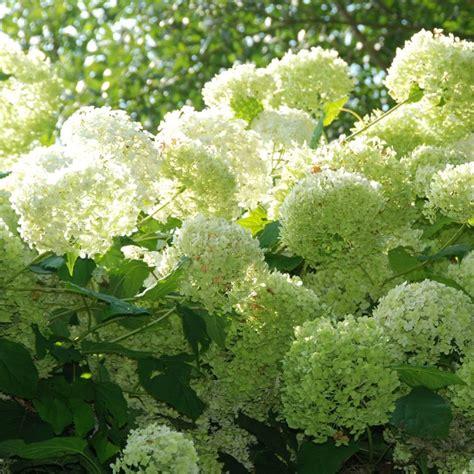 hortensia en pot exterieur hortensia annabelle plantes et jardins
