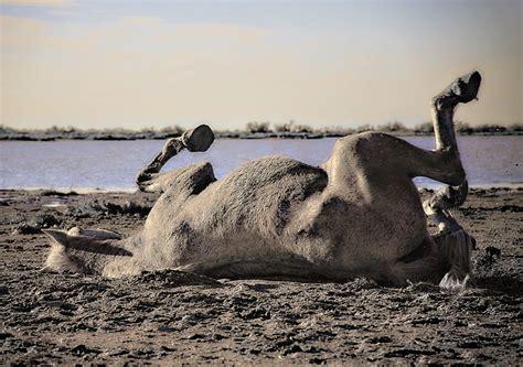 horse sand camargue animals horses water sea wildlife mammal pxhere domain