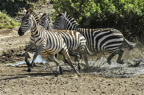 filezebra   running   serengeti national park