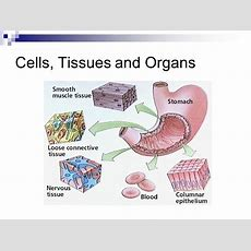 Animal Cells And Tissues  Ppt Video Online Download