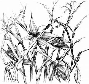 Pics For > Corn Plant Drawing | Subject Matter | Pinterest ...