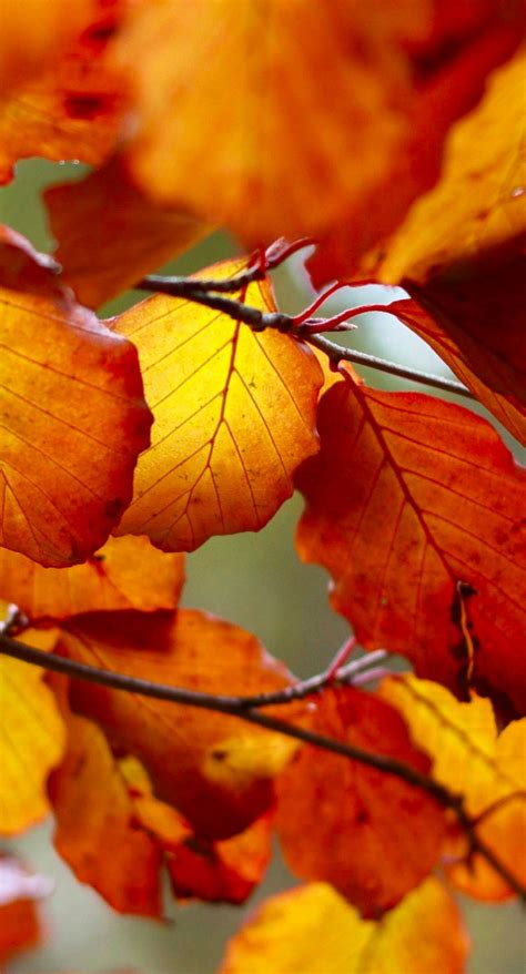 Beautiful Fall Leaves Iphone Wallpaper by Fall Iphone Backgrounds Pixelstalk Net