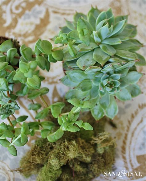 how do succulents grow growing succulents chic coastal style sand and sisal