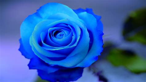 Beautiful Blue Roses On A Blue Background Wallpapers And