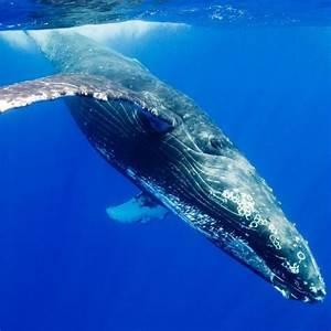 Alimentation De La Baleine Bleue