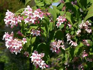 Immergrüne Kletterpflanzen Schattiger Standort : perlmuttstrauch kolkwitzie kolkwitzia amabilis ~ Michelbontemps.com Haus und Dekorationen