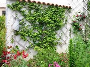 Plantes à Feuillage Persistant : plante grimpante rhyncospermum jasmino de ~ Premium-room.com Idées de Décoration