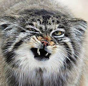 Occupation: Girl | earthcats: Pallas Cat Icons ~perfect ...
