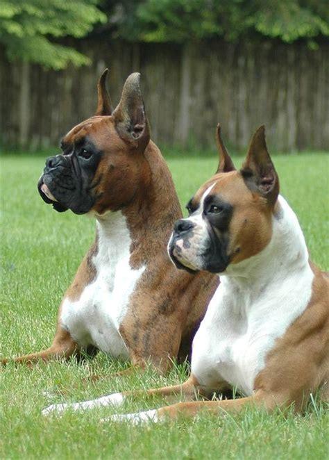boxer breed types    popular boxer dog info