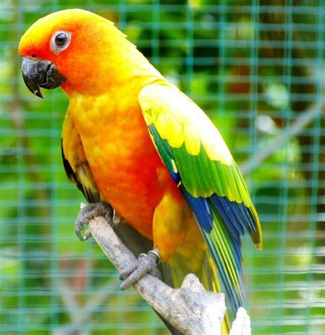 sun conure sun conures vibrant and vocal pet birds