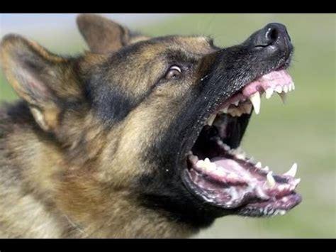 German Shepherd Rottweiler Mix Dog
